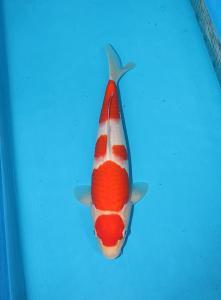 348-Canggih sugianto-balikpapan-good one koi- surabaya-kohaku-33cm