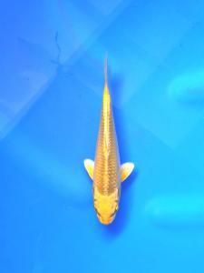 240-Topkoifarm - sby - Ong kuswandy - Sby - hikari mujimono 20 cm